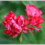 Red Rambler
