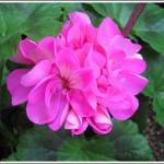 Rose Irene