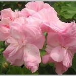 Rosebud Gem