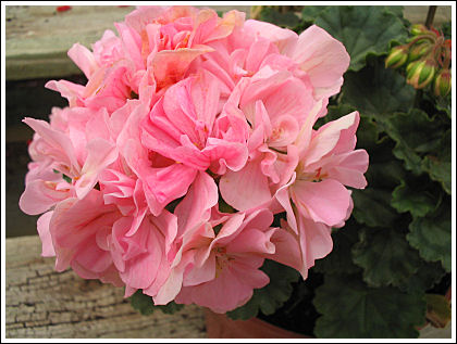 Rose of Amsterdam