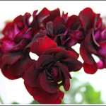 Royal Black Rose